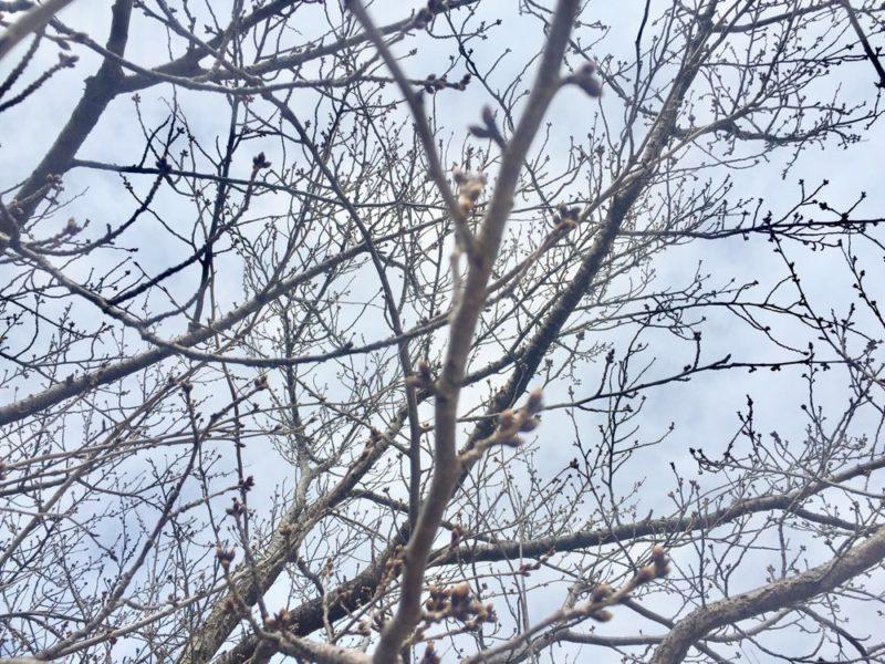 「千秋が原ふるさとの森」の桜の様子と近代美術館の温室