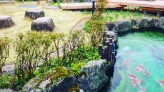錦鯉の里の「鯉オーナー制度」がすごい!ヤンごとなきの「トキ子」ちゃんが動画で確認できる!