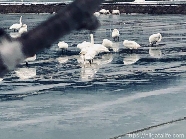 白鳥が飛来する西山「長嶺大池」へ!ロケーションすごい神社も発見