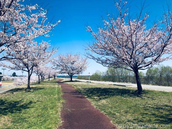 越路河川公園 桜と