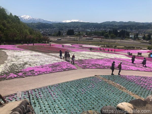 魚沼芝桜まつりへ!ピンクの花々と香りに包まれて