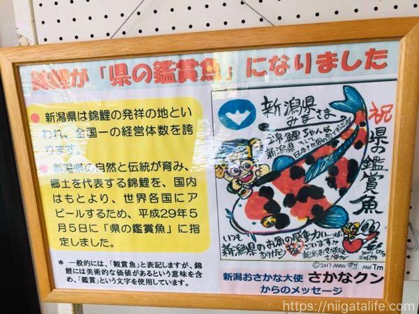 """新潟おさかな大使""""さかなクン""""の大きな錦鯉イラストを小千谷で見つけたよ!"""