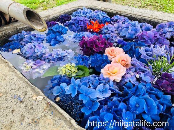 手水舎に紫陽花で彩りを!小千谷慈眼寺