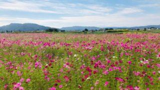 こんな所に!小千谷市三仏生のコスモス畑を発見!