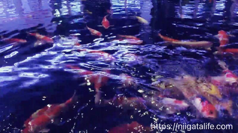 ライトアップした錦鯉の里はエモい景色が広がっていた