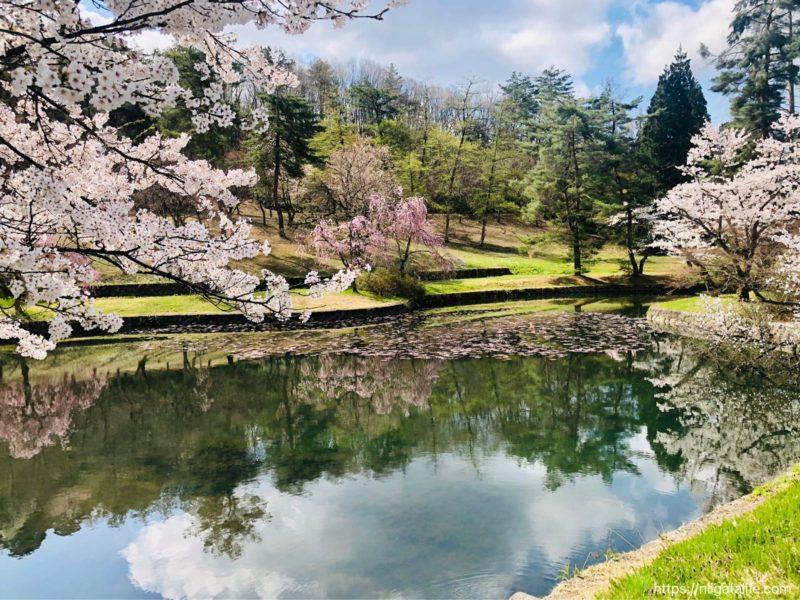 悠久山公園の桜2021