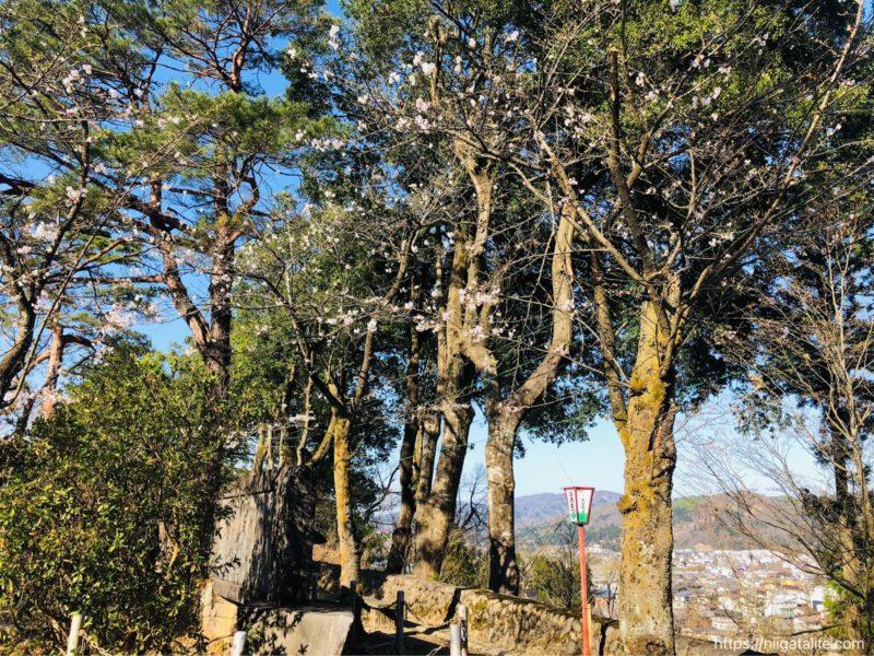 小千谷市内〇ヶ所の桜を巡って