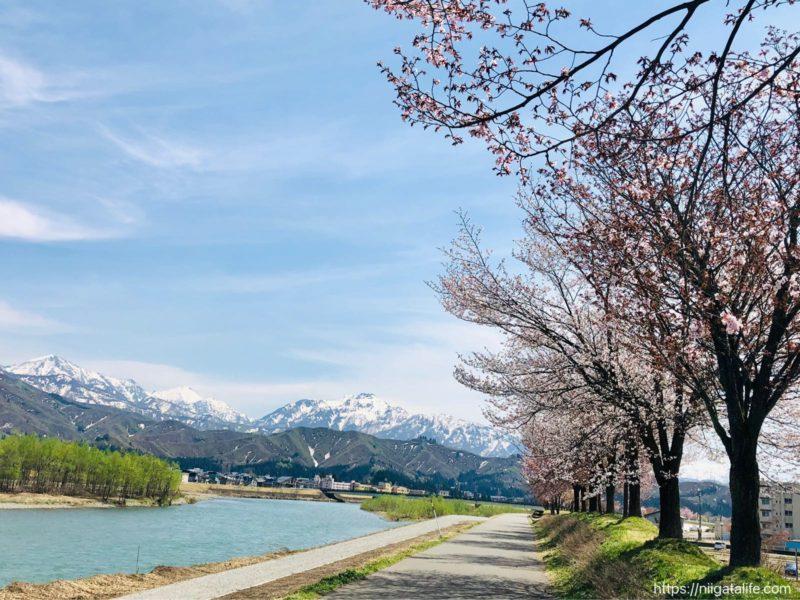 桜並木と山と川の美しさ!魚野川桜づつみで魚沼の春を感じる