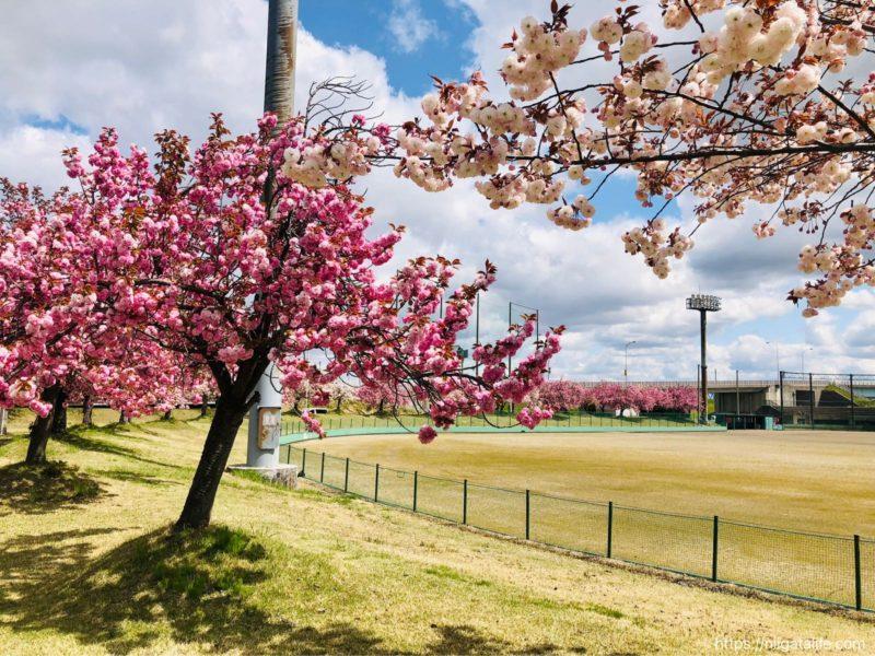 越路河川公園の八重桜が満開でした!