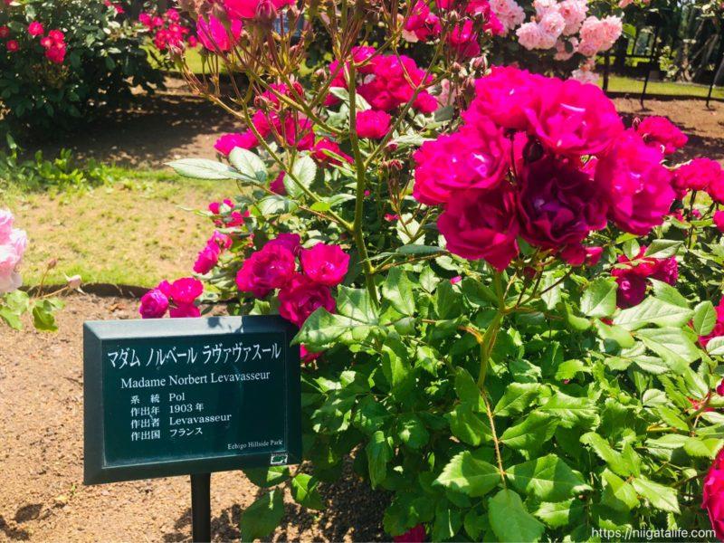 【2021年】丘陵公園の満開のバラ&バラソフト