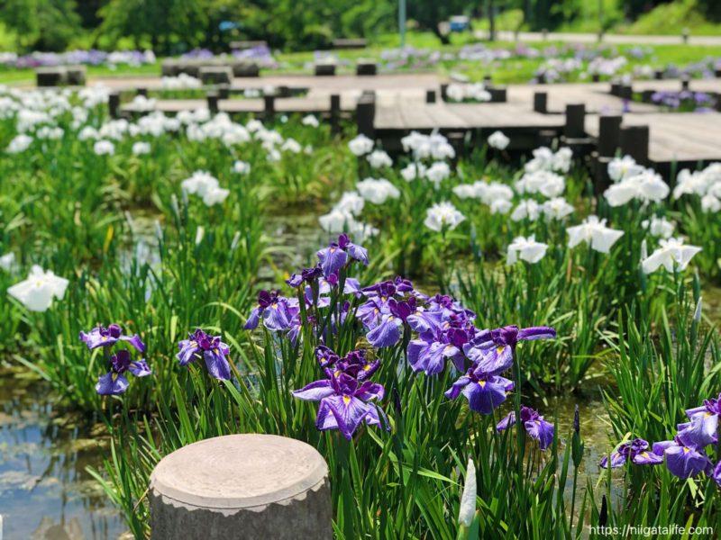 悠久山公園 菖蒲