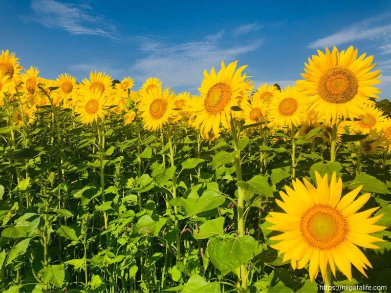 小千谷の夏 満開のひまわり畑へ